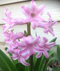 Pink Hyacinthus