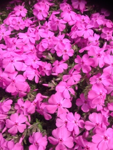 Creeping Phlox at our front curb by the mailbox