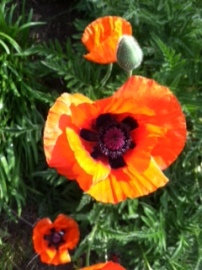 more and more poppies